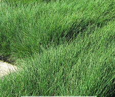 Green Fescue Seed Clumping Ornamental Grass Non Invasive (Sheep's Fescue)