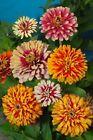 Zinnie durchmischter Farbmix Samen Blumensamen