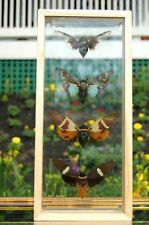 Giant Cicadas Insect Wings Frame Double Glass World's Best Quality Displays !