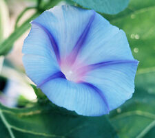 TRICHTERWINDE Blue Star 20 Samen Blauer Stern Prunkwinde Ipomoea Tricolor