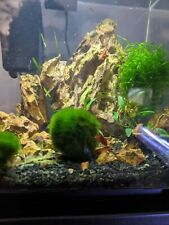 Large 4cm+  LIVE MARIMO MOSS BALLS .|FAST SHIPPING| For aquarium and betta tank