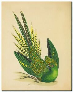 "Vintage John Gould Australian Bird Art CANVAS PRINT~ Ground parrot 24""X16"""