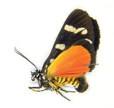 Unmounted Butterfly/Noctuidae - Heraclia deficiens, male, RARER, Tanzania