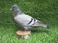 Grey Barred Pigeon Real Bird Taxidermy Mount