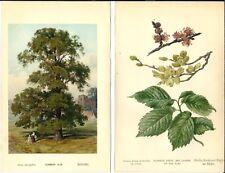 Stampa antica OLMO ALBERO foglie fiori botanica Ulmus 1890 Antique print