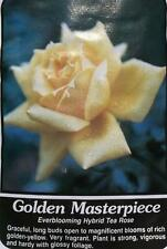 Golden Masterpiece Yellow Rose 2 Year Live Bush Plants Shrub Plant Fine Roses