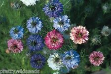 Nigella  love in a mist Persian Jewels Mixed Hardy annual 2000 seeds