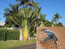 Ravenala Madagascariensis Traveler's Palm Madagascar Bird of Paradise 10 Seeds