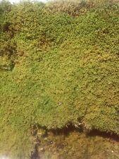 Sheet Moss. 600 sq inches All Natural Green Organic Sheet Moss.