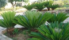 10 semi di CYCAS bellissima pianta ornamentale,..