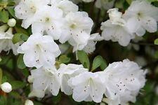 WHITE RHODODENDRON. POLAR BEAR CULTIVAR. 50 PLUS seeds. ( 25 plus extra)