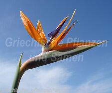 Strelitzia reginae PARAISO Flores Pájaros Naranja-Azul 6 Semillas Frescas