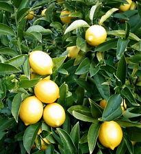 Dwarf Lemon (Meyer)Tree Seeds (2)  Seeds  Lemon Grow Your Own Fresh Seeds