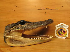 "Alligator Gator Head 6 - 7"" Genuine Real  American Taxidermy Reptile Crocodile"
