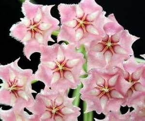 Hoya Pubicalyx . Pink Dragon .Jungpflanze