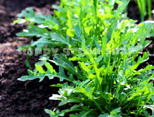 HERB ROCKET SALAD - 4000 SEEDS - SELECTED SEEDS - ARUGULA SEEDS