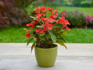 """Red Crown Of Thorns Plant Euphorbia Splendens STARTER Plant 2"""" + Tall Potted"""