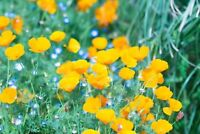 Poppy California Yellow Non GMO Heirloom Flower Garden Seeds Sow No GMO® USA