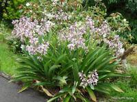 Renga Renga Lily   (Arthropodium cirratum )  20  Seeds