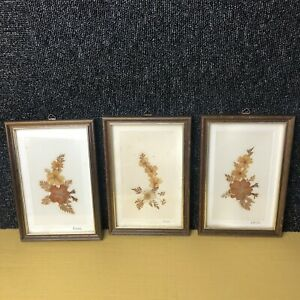 Trio Of Antique English Pressed Flowers In Original Frames 5.2 x 7.7 Inches