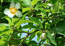 Indischer Rosen-Apfel • 20 Samen/seeds • Dillenia indica • essbar•Elephant Apple