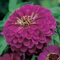Zinnia- Elegans- Purple Prince- 100 Seeds