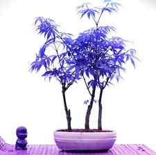 Blue Maple Tree Bonsai Seeds Japanese Bonsai Maple Seed Tree Plaint Seeds 20PCS
