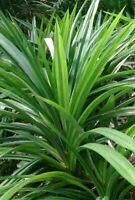 4 Live Pandan Fragrant Leaves Pandanus Amaryllifolius for Plant with Rhizome