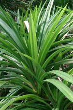 4 Live Pandan Fragrant Leaves Pandanus Amaryllifolius for Plant with Rhizome