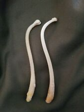 2 Big Mountain man toothpicks. Baculum Oosik, Raccoon Penis Bone FertilityCharm