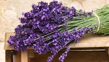 Lavender (Lavandula officinalis) Lavanda - 50 seeds