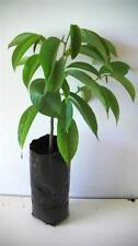 Sub-tropical Climate Plants, Seeds & Bulbs