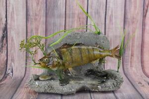 """Stuffed 15"""" Perca fluviati Perch w/ Crab wall Mount Taxidermy Fish Cabin Decor"""