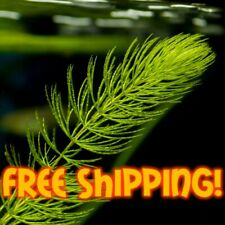 6 Stems Hornwort Easy Low Light Floating Aquarium Plant FREE SHIPPING BUY2GET1!