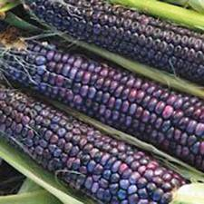 CORN, BLUE HOPI, HEIRLOOM, ORGANIC 500+ SEEDS, GREAT FOR MAKING BLUE CORN FLOUR