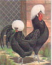 Varieties of  Poultry Crested Black Polish scarce Limited edition Trading Card