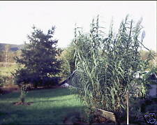 Arundo donax GIANT REED Ornamental Grass Seeds!