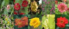 BRAND NEW:GRANDEOUS GEUM'LADIES COLLECTION'(AVENS) SEED(FREE p&p)