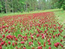 1000+Crimson Clover Seeds Ground Cover Garden Food Plot Wildflower Easy Annual