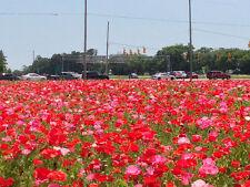 FLOWER CORN FIELD POPPY MIXED 2GM ~ 14,000 FINEST SEEDS