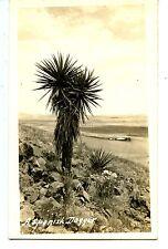 Spanish Dagger-Desert Yucca Plant-Scenic RPPC-Vintage Real Photo Postcard