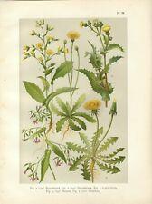Stampa antica FIORI TARASSACO LATTUGA GRESPINO  botanica 1919 Old Antique print