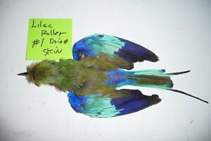 Lilac Breast Roller #1 salted skin for Taxidermy