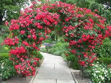 20++ RED CLIMBING  ROSE Seeds   USA SELLER  SHIPS FREE