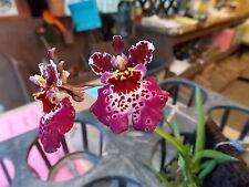 Bin-Tolumnia Jairak Firm '#35' equitant oncidium Orchid plant -Miniature! Nice!