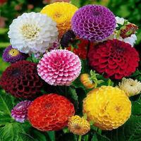 200 Stücke Schöne Mischfarbe Zinnia Blume Pflanzensamen Garten Bonsai Samen TG