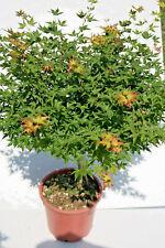 Acer giapponese palmato little princess di 3 anni alti 80-100cm in vaso 16cm