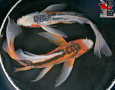 "(2) 10"" BUTTERFLY SHUSUI MALES  Live Koi Fish Pond Garden BKD"