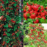 100pcs rote Erdbeere Klettern Samen Klettererdbeeren Hänge Erdbeere GUT