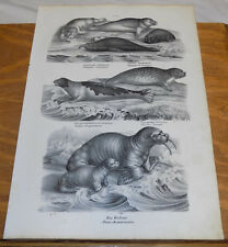 1834 Antique Print/Seal, Walrus/5 Illustrations